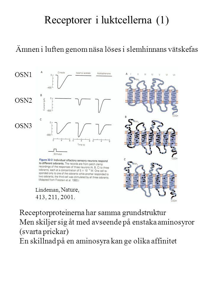 Receptorer i luktcellerna (1) Ämnen i luften genom näsa löses i slemhinnans vätskefas OSN1 OSN2 OSN3 Receptorproteinerna har samma grundstruktur Men s