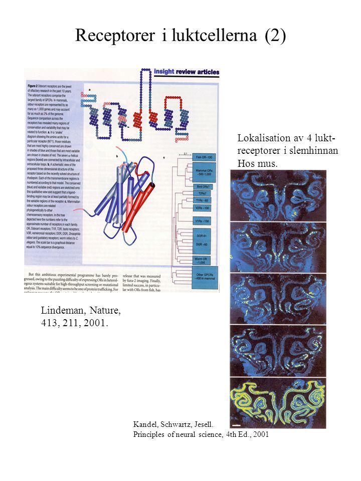 Receptorer i luktcellerna (2) Lindeman, Nature, 413, 211, 2001. Kandel, Schwartz, Jesell. Principles of neural science, 4th Ed., 2001 Lokalisation av