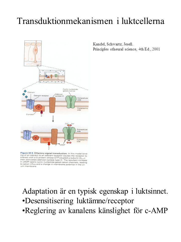 Omkoppling i bulben sker i glomerulus Ca.
