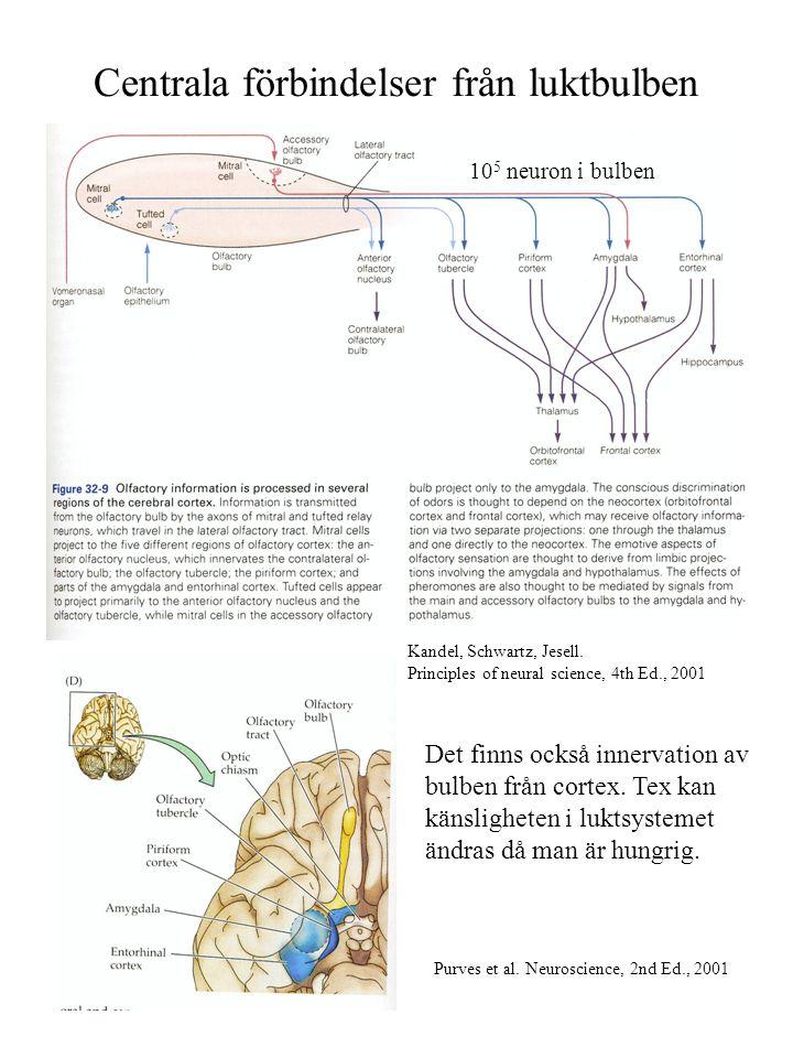 Centrala förbindelser från luktbulben Kandel, Schwartz, Jesell. Principles of neural science, 4th Ed., 2001 Purves et al. Neuroscience, 2nd Ed., 2001
