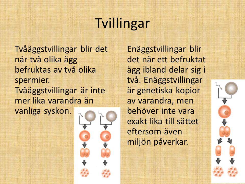 Tvillingar Tvåäggstvillingar blir det när två olika ägg befruktas av två olika spermier. Tvåäggstvillingar är inte mer lika varandra än vanliga syskon