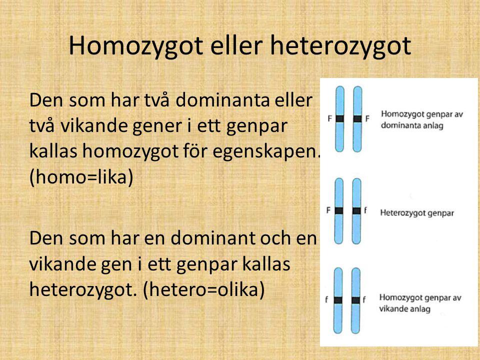 Homozygot eller heterozygot Den som har två dominanta eller två vikande gener i ett genpar kallas homozygot för egenskapen. (homo=lika) Den som har en