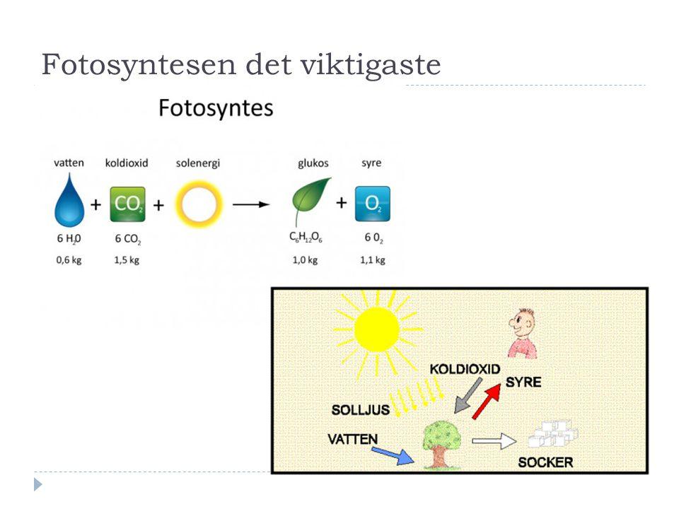 Fotosyntesen det viktigaste