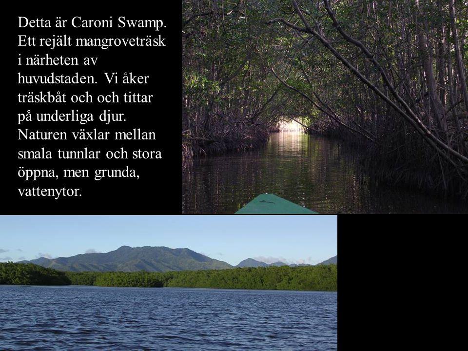Detta är Caroni Swamp. Ett rejält mangroveträsk i närheten av huvudstaden.