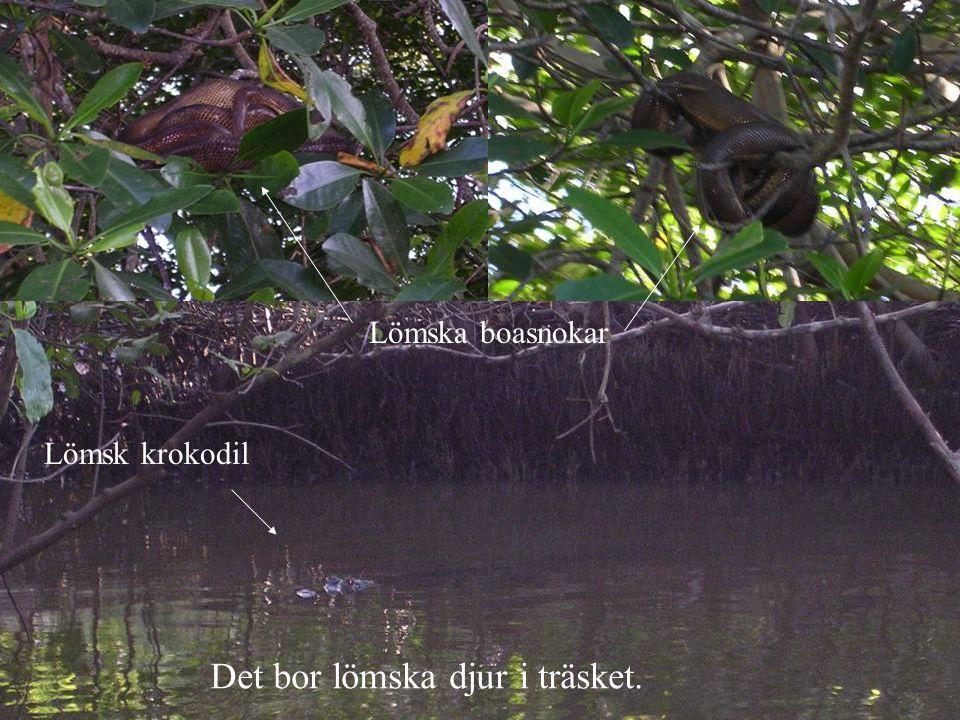 Det bor lömska djur i träsket. Lömska boasnokar Lömsk krokodil
