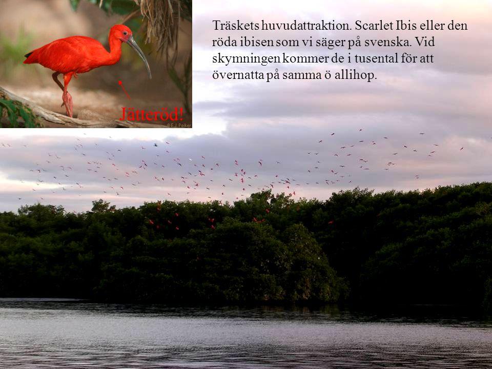 Träskets huvudattraktion. Scarlet Ibis eller den röda ibisen som vi säger på svenska.
