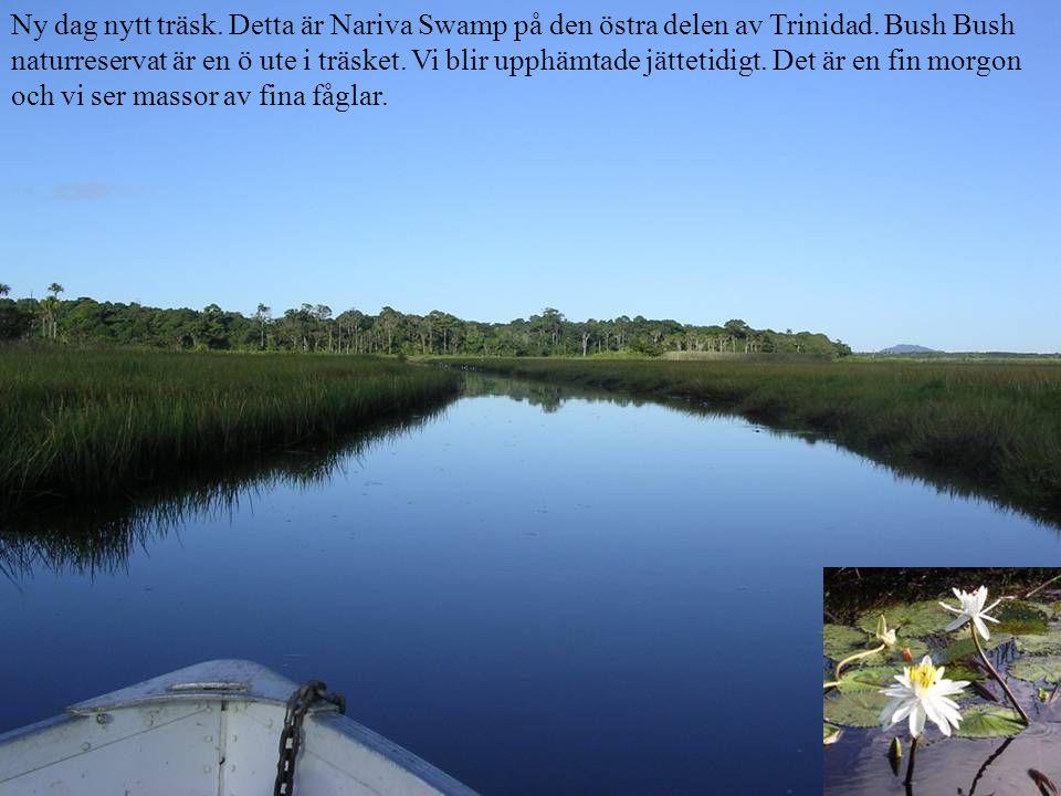 Ny dag nytt träsk. Detta är Nariva Swamp på den östra delen av Trinidad.