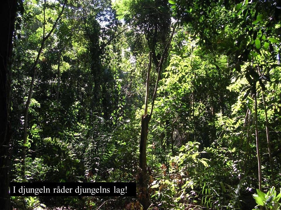 I djungeln råder djungelns lag!
