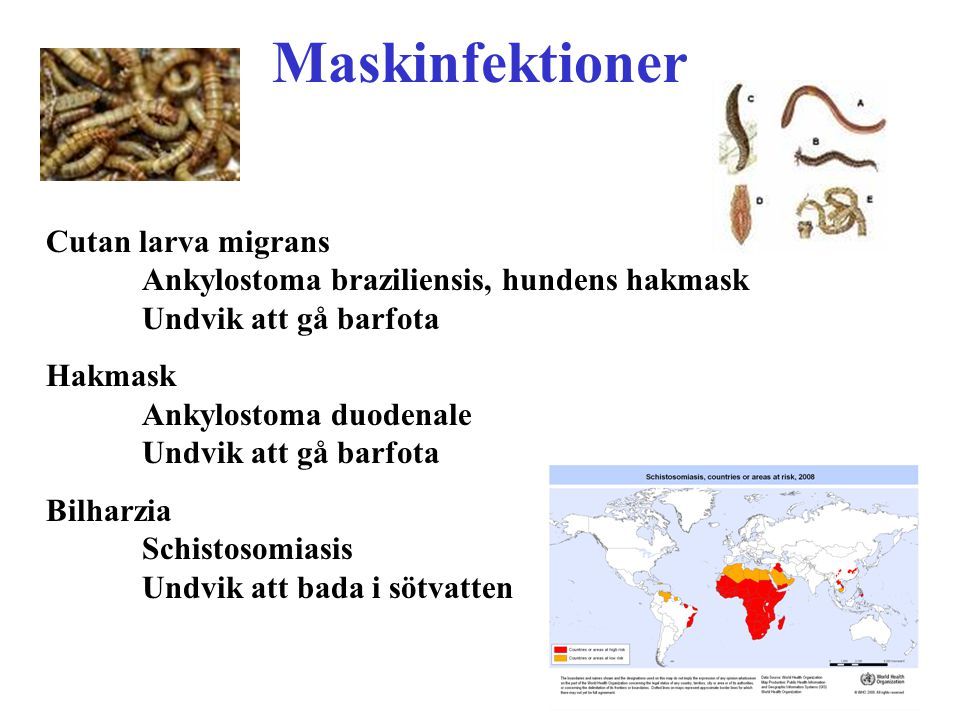 Maskinfektioner Cutan larva migrans Ankylostoma braziliensis, hundens hakmask Undvik att gå barfota Hakmask Ankylostoma duodenale Undvik att gå barfot