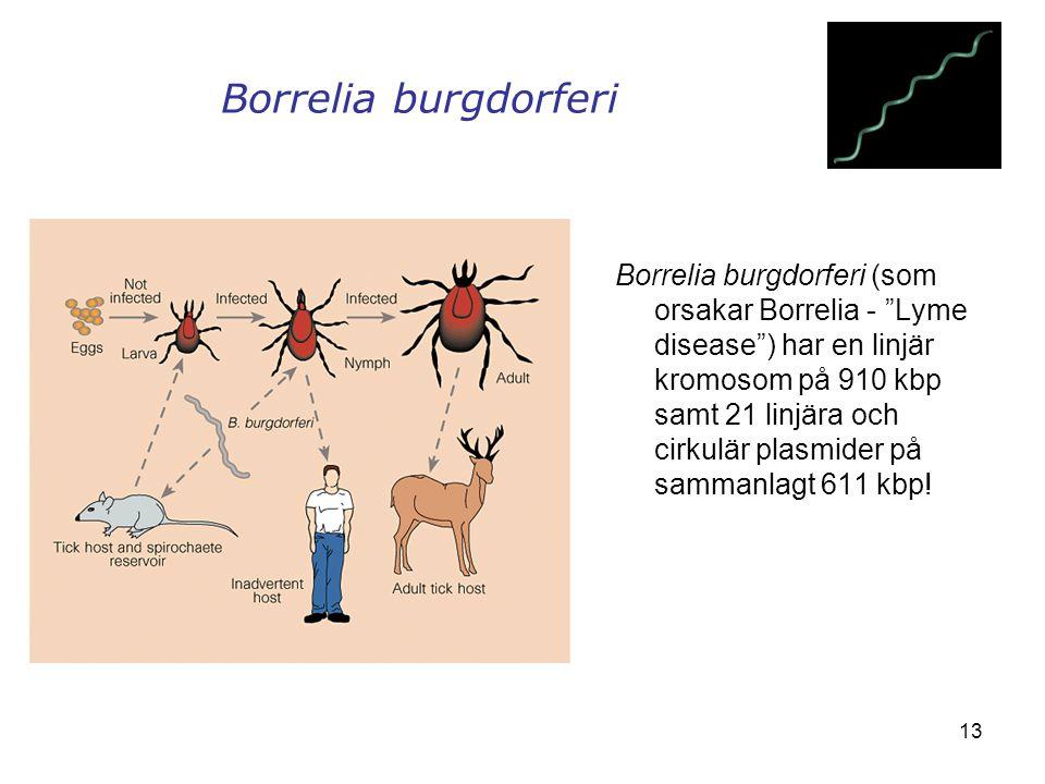 """13 Borrelia burgdorferi Borrelia burgdorferi (som orsakar Borrelia - """"Lyme disease"""") har en linjär kromosom på 910 kbp samt 21 linjära och cirkulär pl"""