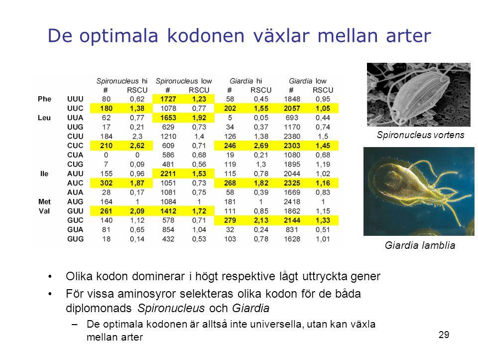 29 De optimala kodonen växlar mellan arter Spironucleus vortens Giardia lamblia Olika kodon dominerar i högt respektive lågt uttryckta gener För vissa