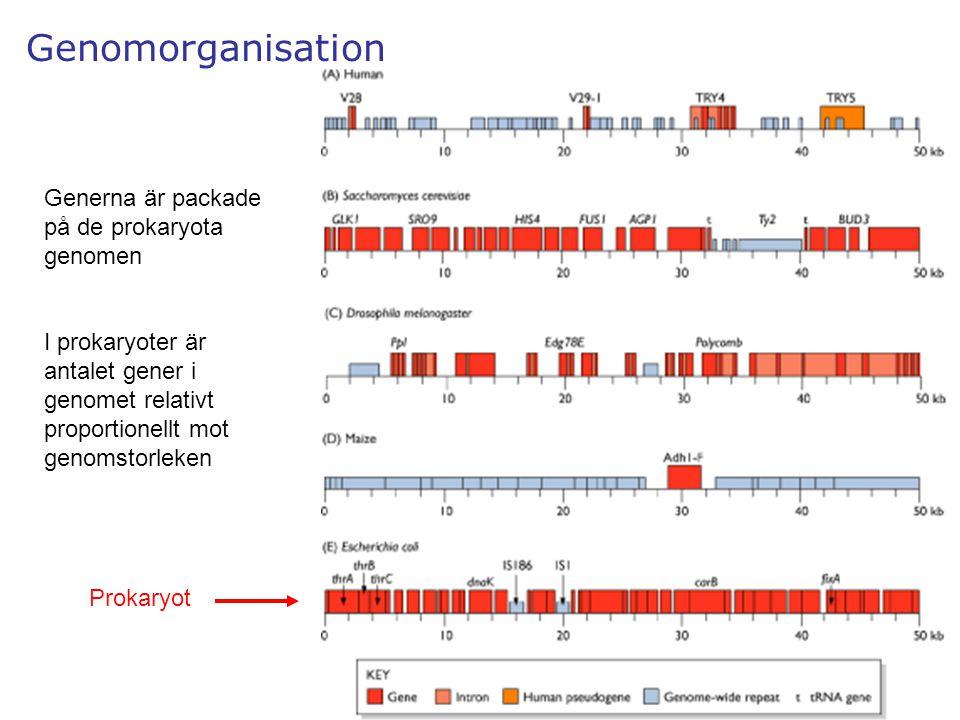 5 Genomorganisation Generna är packade på de prokaryota genomen I prokaryoter är antalet gener i genomet relativt proportionellt mot genomstorleken Pr