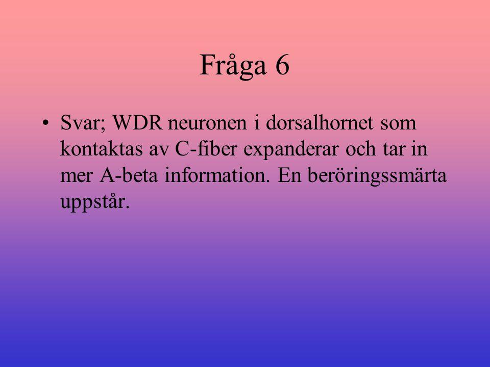 Fråga 6 Svar; WDR neuronen i dorsalhornet som kontaktas av C-fiber expanderar och tar in mer A-beta information. En beröringssmärta uppstår.