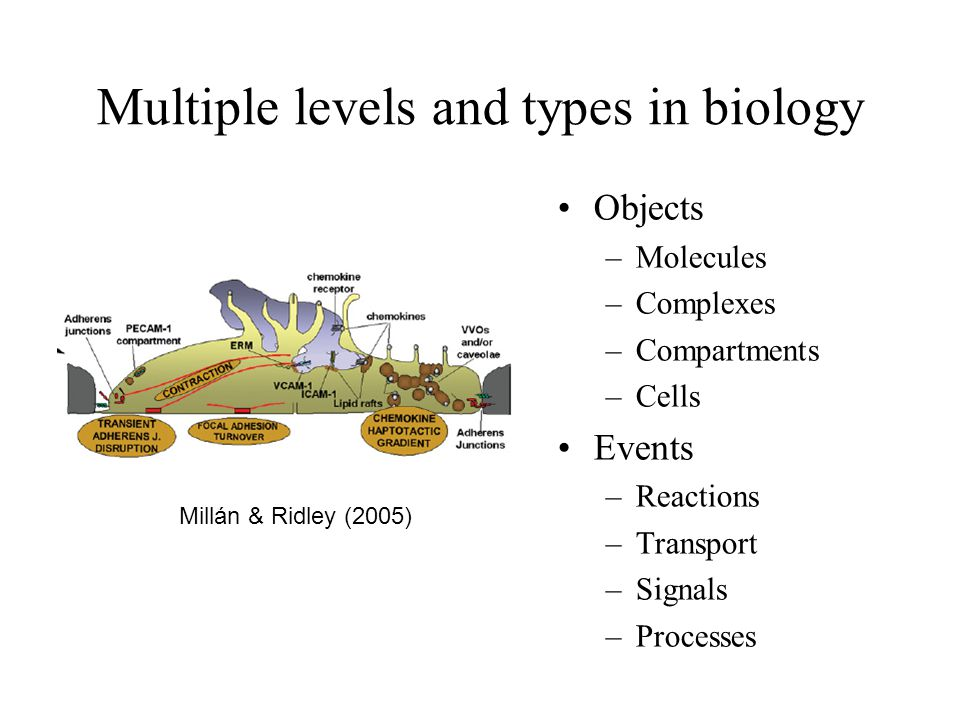 Multiple levels and types in biology Objects –Molecules –Complexes –Compartments –Cells Events –Reactions –Transport –Signals –Processes Millán & Ridl