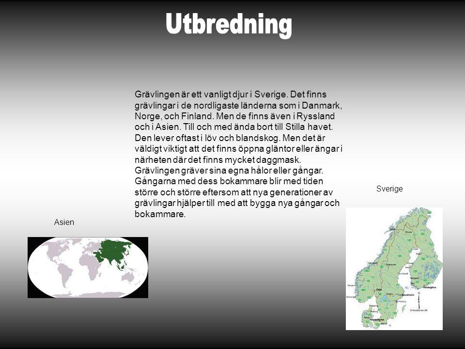 Grävlingen är ett vanligt djur i Sverige. Det finns grävlingar i de nordligaste länderna som i Danmark, Norge, och Finland. Men de finns även i Ryssla