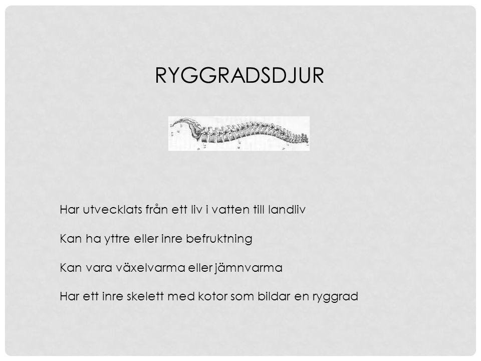 RYGGRADSDJUR Har utvecklats från ett liv i vatten till landliv Kan ha yttre eller inre befruktning Kan vara växelvarma eller jämnvarma Har ett inre sk