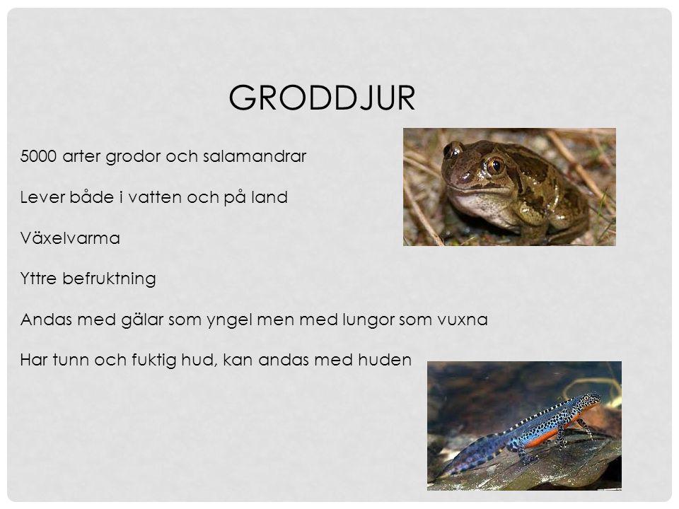 GRODDJUR 5000 arter grodor och salamandrar Lever både i vatten och på land Växelvarma Yttre befruktning Andas med gälar som yngel men med lungor som v