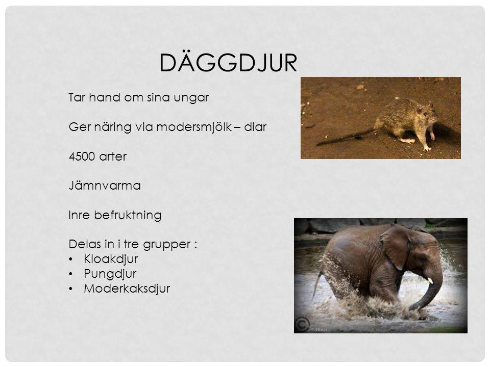 DÄGGDJUR Tar hand om sina ungar Ger näring via modersmjölk – diar 4500 arter Jämnvarma Inre befruktning Delas in i tre grupper : Kloakdjur Pungdjur Mo