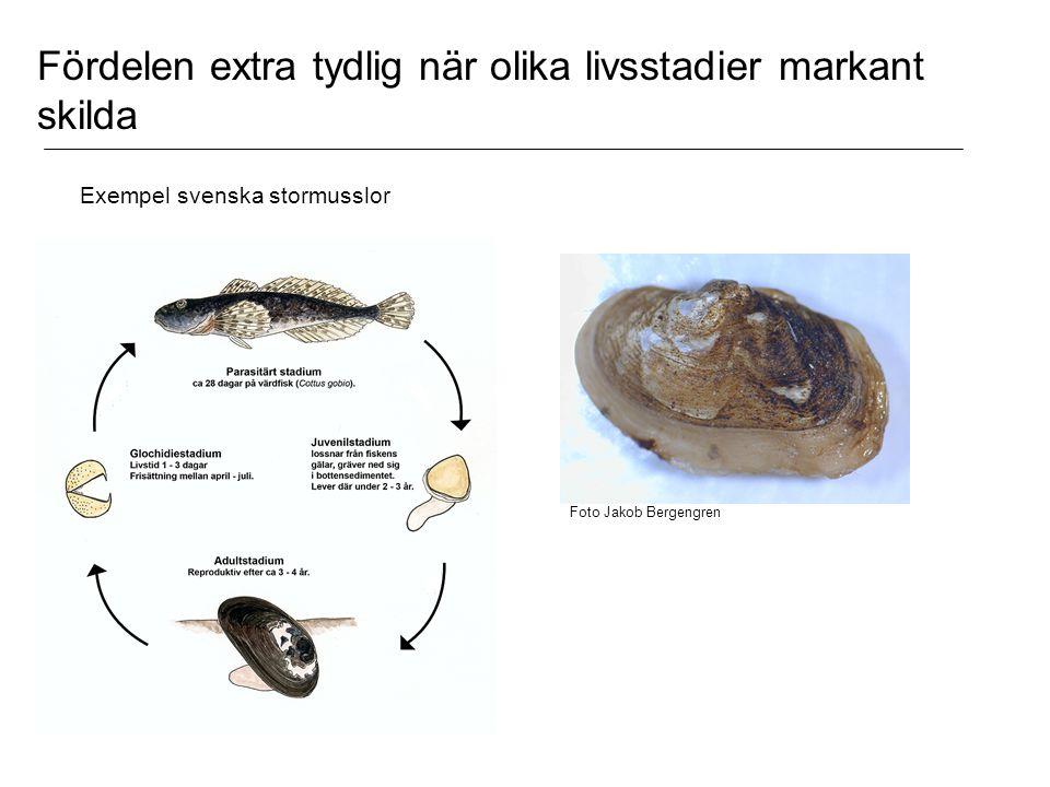 Exempel svenska stormusslor Foto Jakob Bergengren Fördelen extra tydlig när olika livsstadier markant skilda