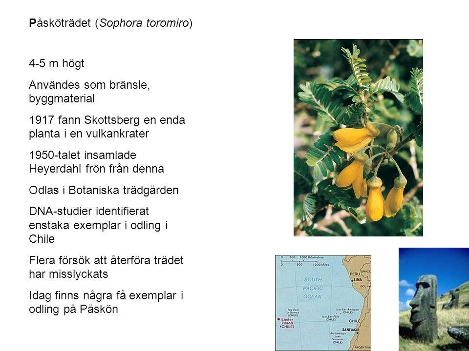 Påsköträdet (Sophora toromiro) 4-5 m högt Användes som bränsle, byggmaterial 1917 fann Skottsberg en enda planta i en vulkankrater 1950-talet insamlade Heyerdahl frön från denna Odlas i Botaniska trädgården DNA-studier identifierat enstaka exemplar i odling i Chile Flera försök att återföra trädet har misslyckats Idag finns några få exemplar i odling på Påskön
