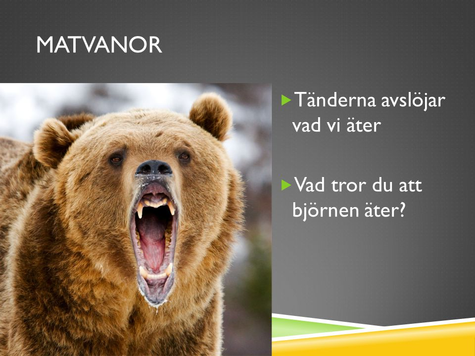 MATVANOR  Tänderna avslöjar vad vi äter  Vad tror du att björnen äter