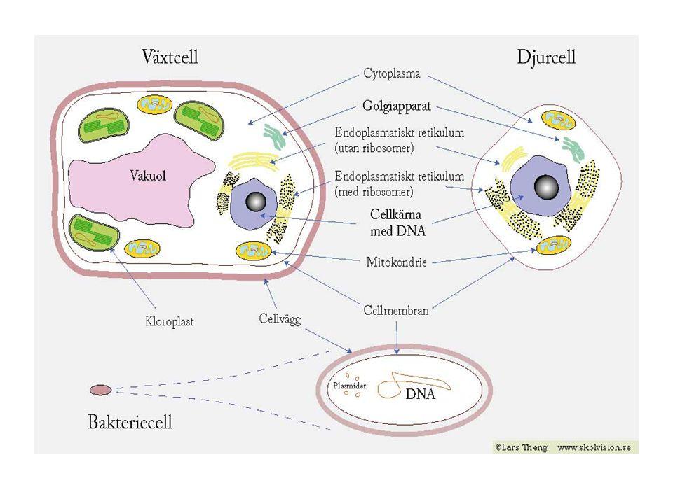 Alla organismer består av celler Alla levande varelser kallas organismer.