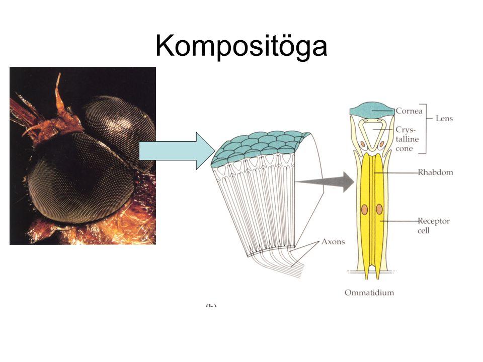 Jämförelse insekt - människa