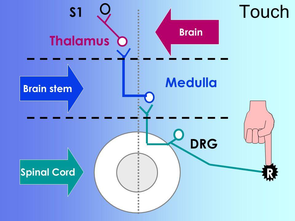 Spinal Cord Touch R DRG Medulla S1 R Thalamus Brain stem Brain