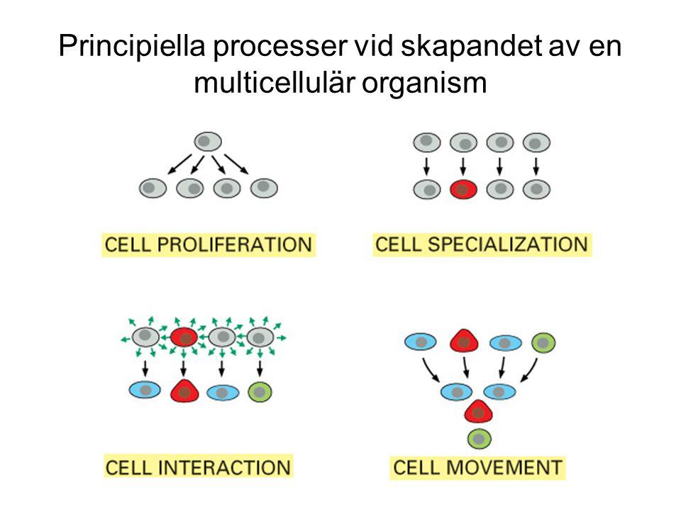 Principiella processer vid skapandet av en multicellulär organism