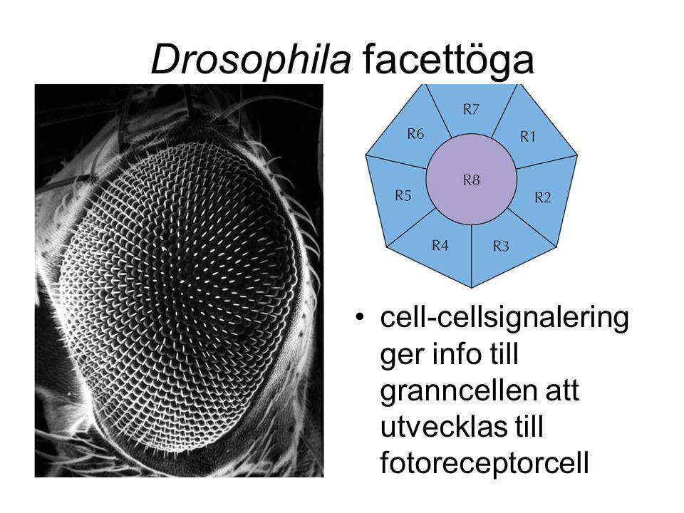 Drosophila facettöga cell-cellsignalering ger info till granncellen att utvecklas till fotoreceptorcell