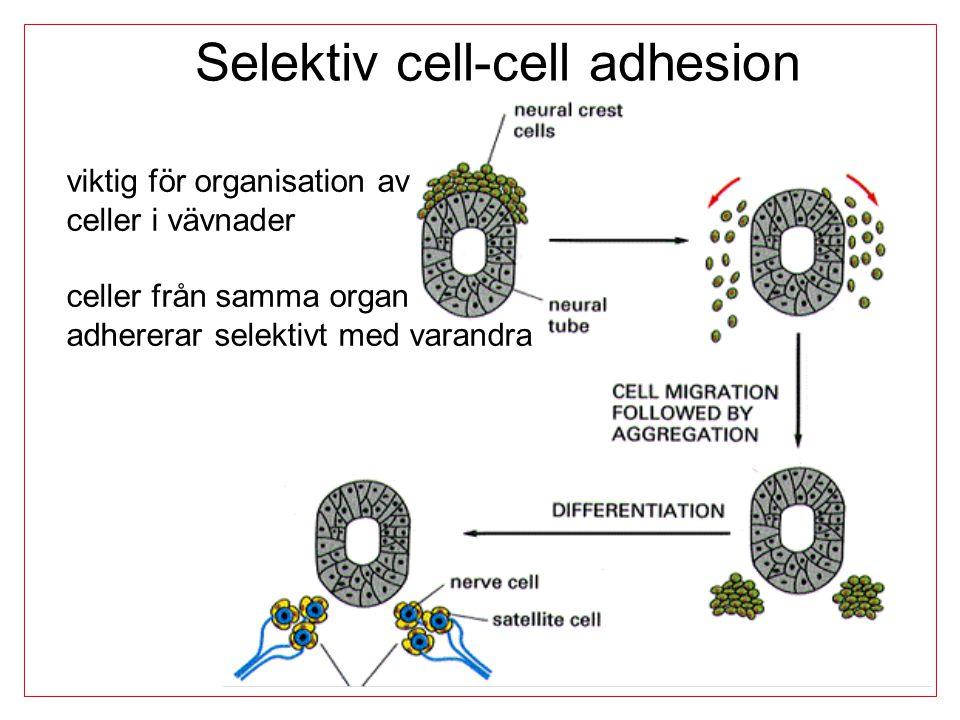Selektiv cell-cell adhesion viktig för organisation av celler i vävnader celler från samma organ adhererar selektivt med varandra