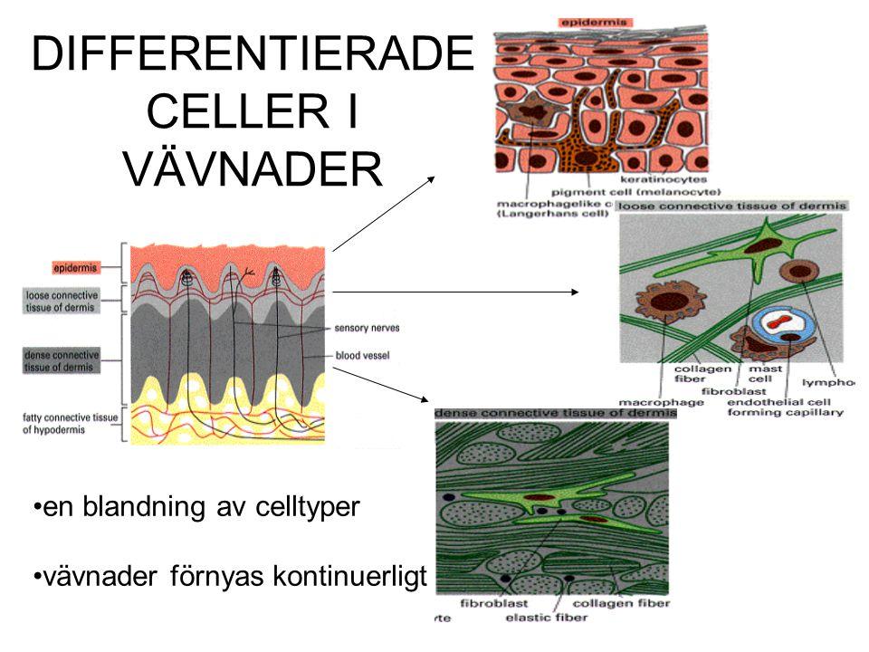 DIFFERENTIERADE CELLER I VÄVNADER en blandning av celltyper vävnader förnyas kontinuerligt