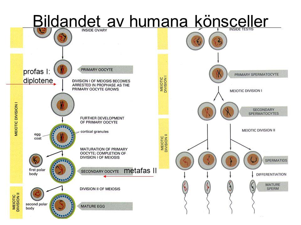 Bildandet av humana könsceller profas I: diplotene metafas II