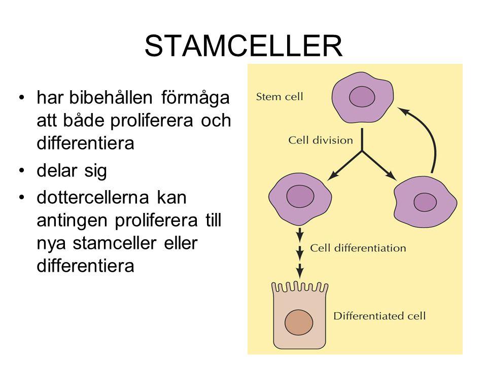 STAMCELLER har bibehållen förmåga att både proliferera och differentiera delar sig dottercellerna kan antingen proliferera till nya stamceller eller d