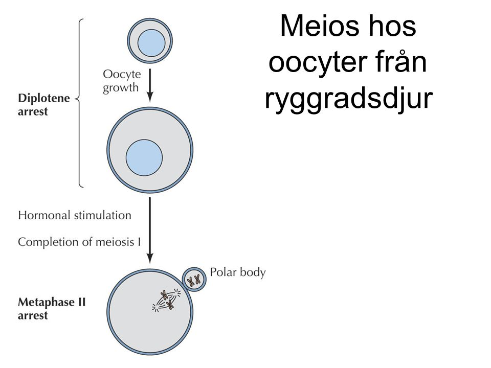 Befruktning – avslutande av meios II Ca2+ - beroende aktivering av anafas II-aktiveringskomplex slutför meios II