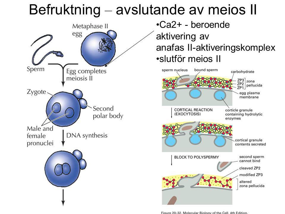 Sonic hedgehog genen styr antero-posterior differentiering Sonic hedgehog-genen