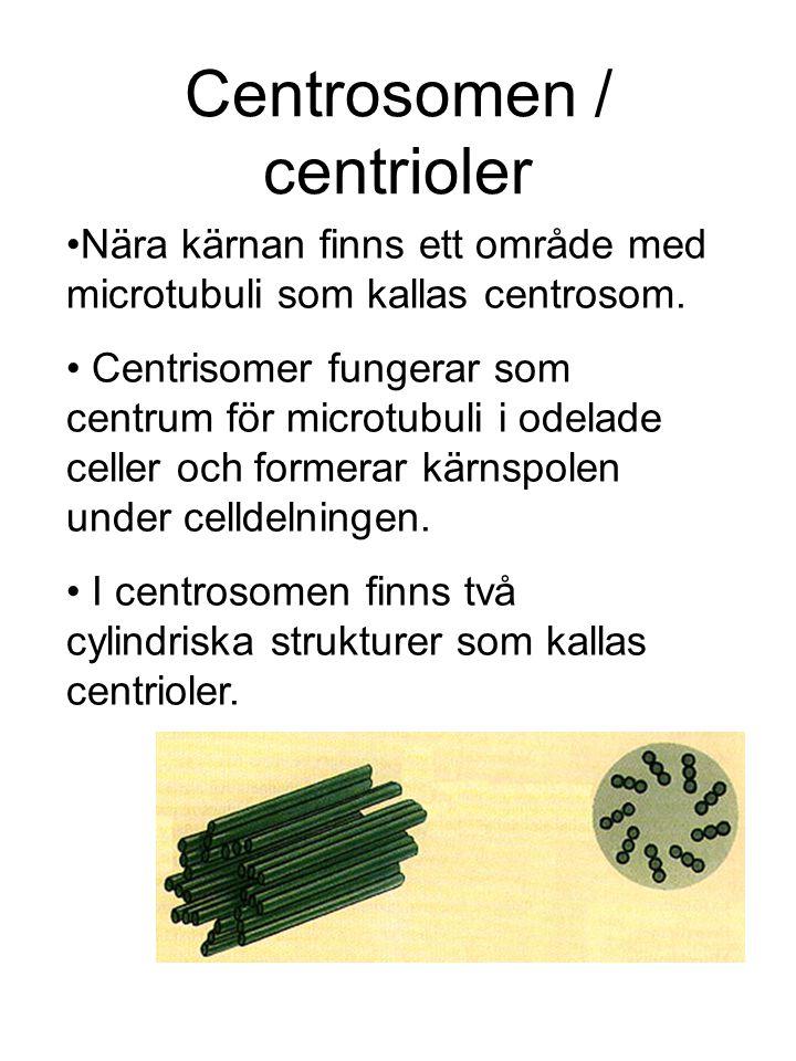 Centrosomen / centrioler Nära kärnan finns ett område med microtubuli som kallas centrosom.