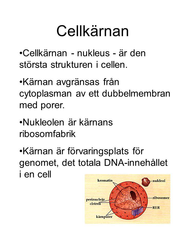 Cellkärnan Cellkärnan - nukleus - är den största strukturen i cellen.