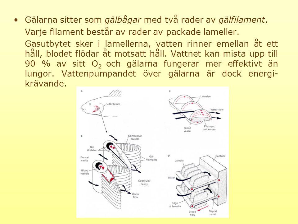 Gälarna sitter som gälbågar med två rader av gälfilament.