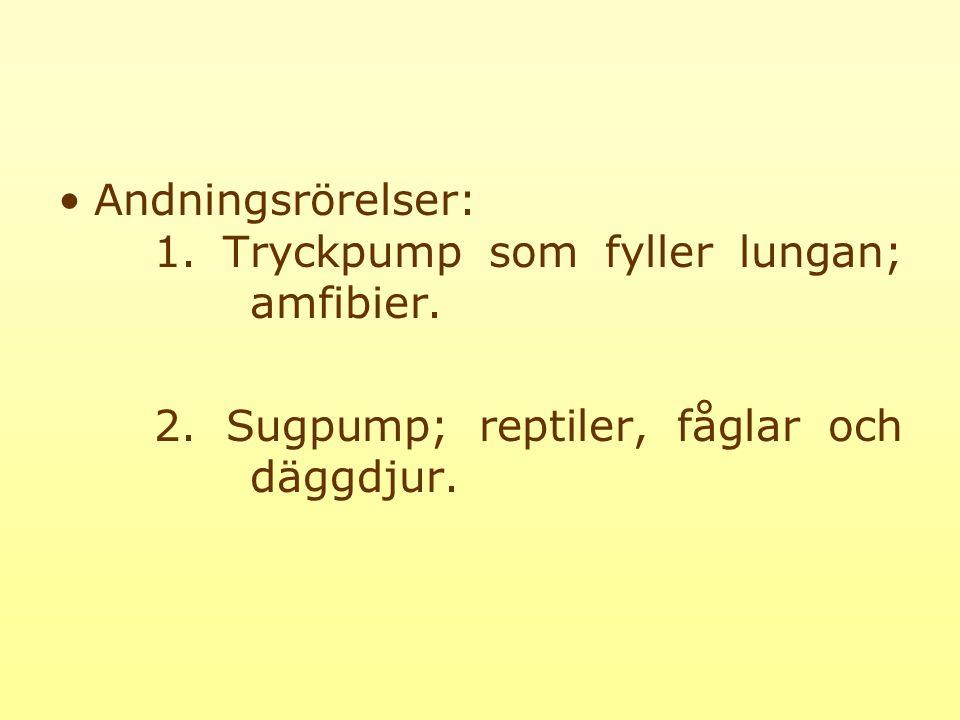 Andningsrörelser: 1.Tryckpump som fyller lungan; amfibier.