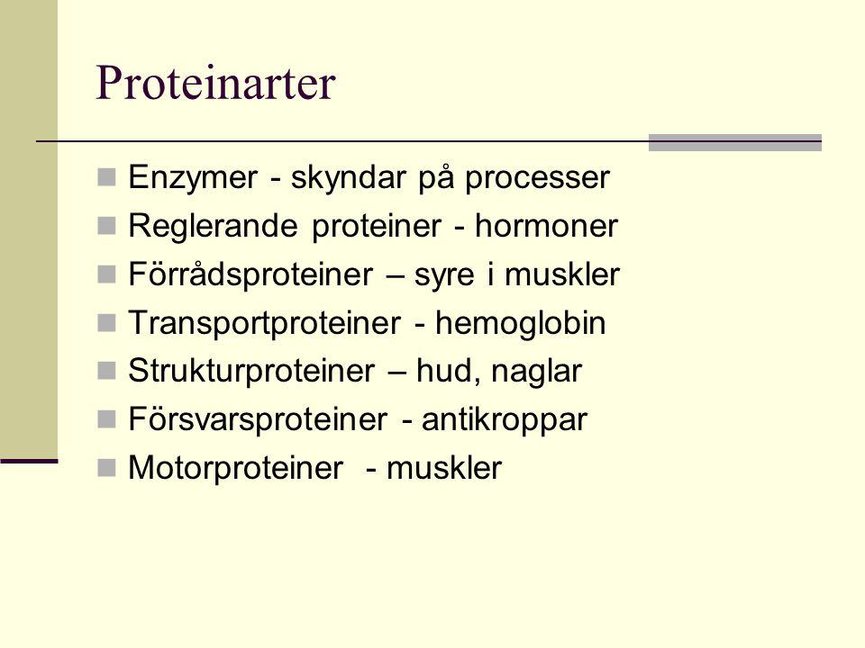 Proteinarter Enzymer - skyndar på processer Reglerande proteiner - hormoner Förrådsproteiner – syre i muskler Transportproteiner - hemoglobin Struktur