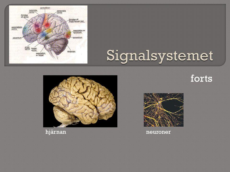 forts neuronerhjärnan