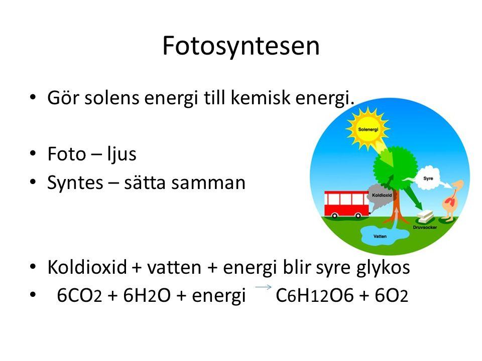 Fotosyntesen Gör solens energi till kemisk energi. Foto – ljus Syntes – sätta samman Koldioxid + vatten + energi blir syre glykos 6CO 2 + 6H 2 O + ene