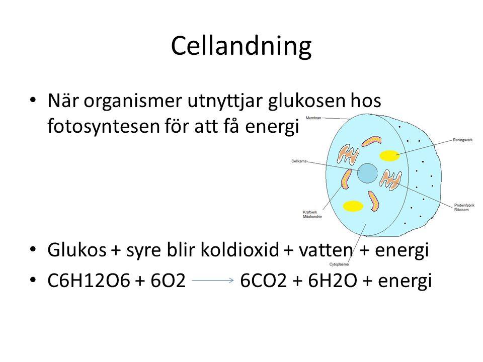 Cellandning När organismer utnyttjar glukosen hos fotosyntesen för att få energi Glukos + syre blir koldioxid + vatten + energi C6H12O6 + 6O2 6CO2 + 6