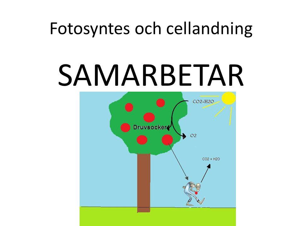 Fotosyntes och cellandning SAMARBETAR