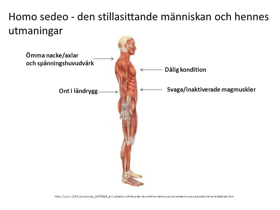 Homo sedeo - den stillasittande människan och hennes utmaningar http://www.123rf.com/photo_10474824_a-illustration-of-the-side-view-of-the-male-muscul