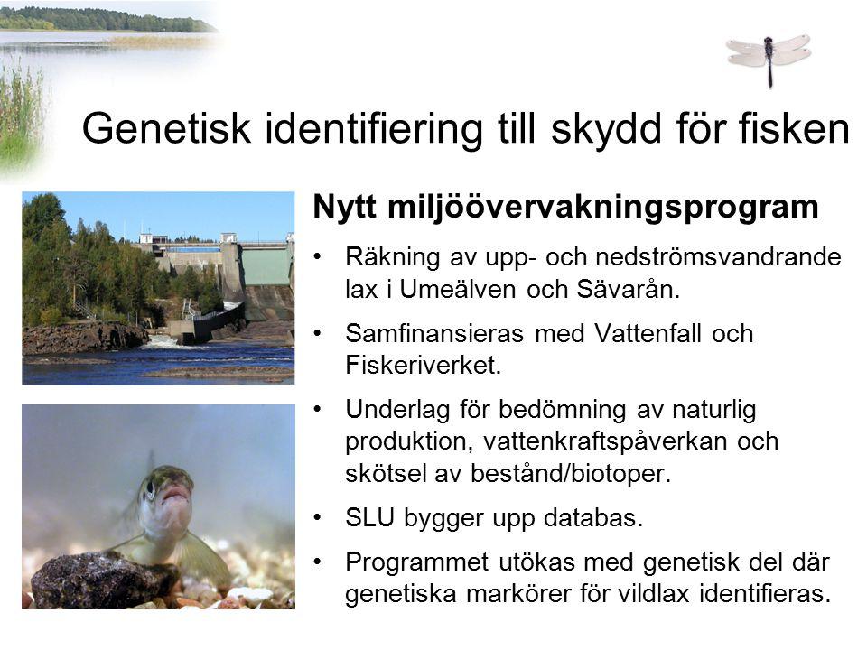 Nytt miljöövervakningsprogram Räkning av upp- och nedströmsvandrande lax i Umeälven och Sävarån. Samfinansieras med Vattenfall och Fiskeriverket. Unde