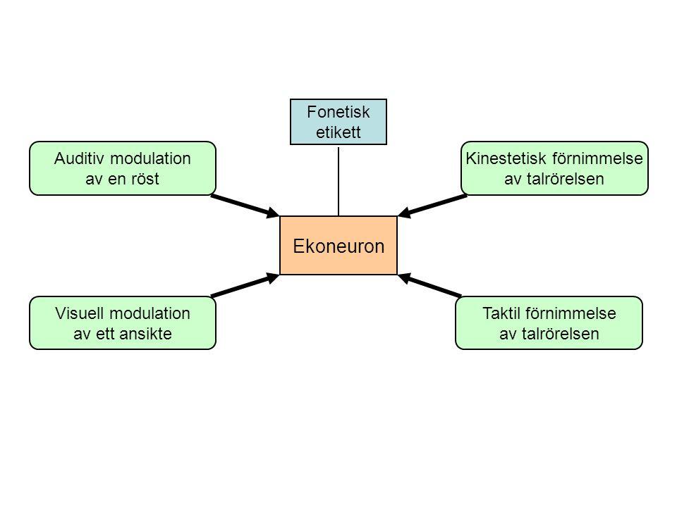 Ekoneuron Visuell modulation av ett ansikte Taktil förnimmelse av talrörelsen Kinestetisk förnimmelse av talrörelsen Auditiv modulation av en röst Fonetisk etikett