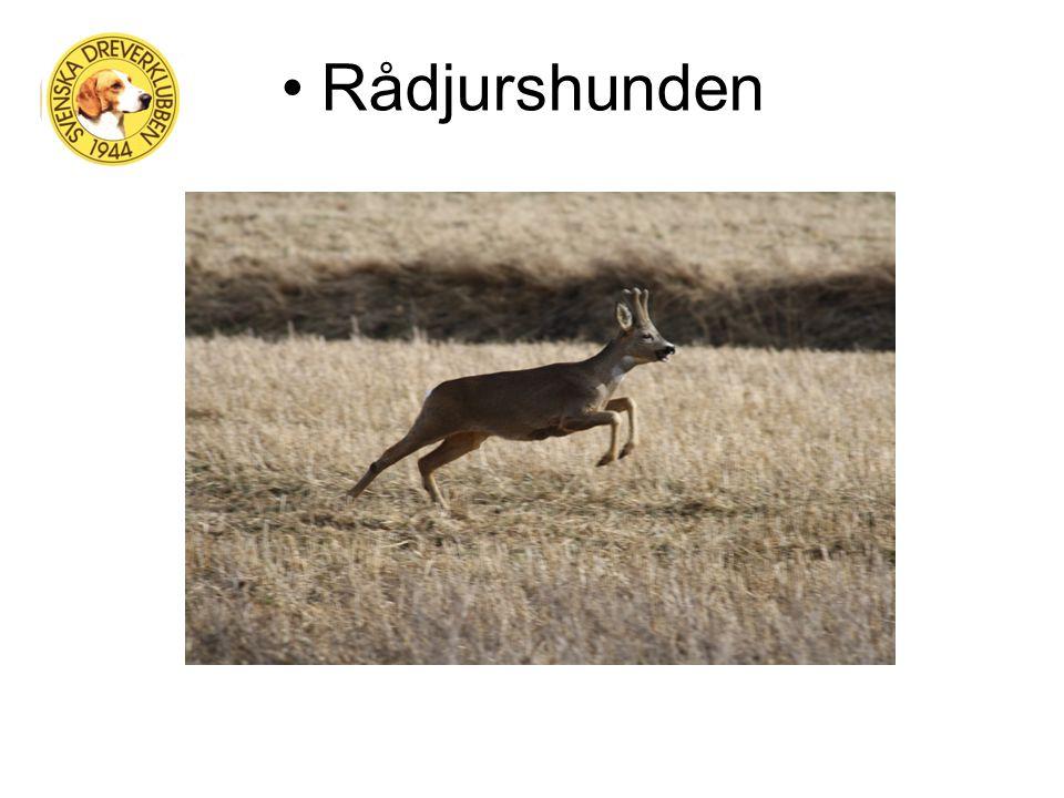 Jakthunden - Drevern Allroundhund – Hare, räv, rådjur och hjort Bästa drivande småhunden… Jakttider – 1/10  31/1 på rådjur och hjort och 1/9  28/2 på räv och hare