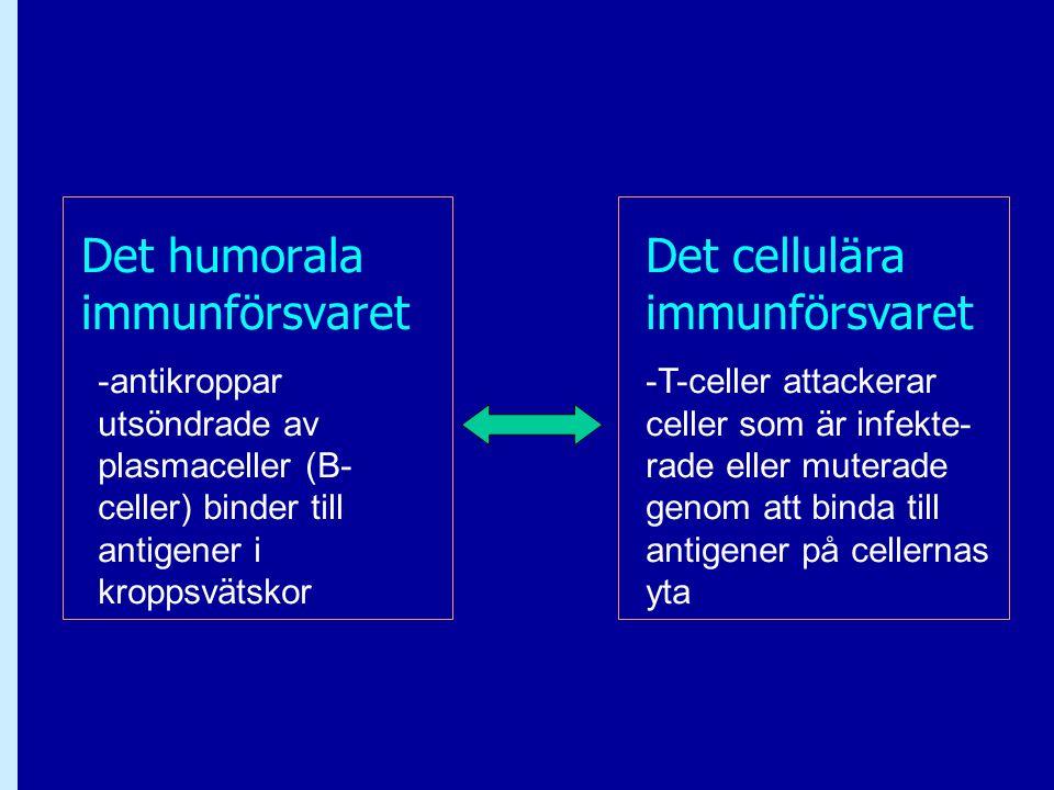 Det humorala immunförsvaret Det cellulära immunförsvaret -antikroppar utsöndrade av plasmaceller (B- celler) binder till antigener i kroppsvätskor -T-